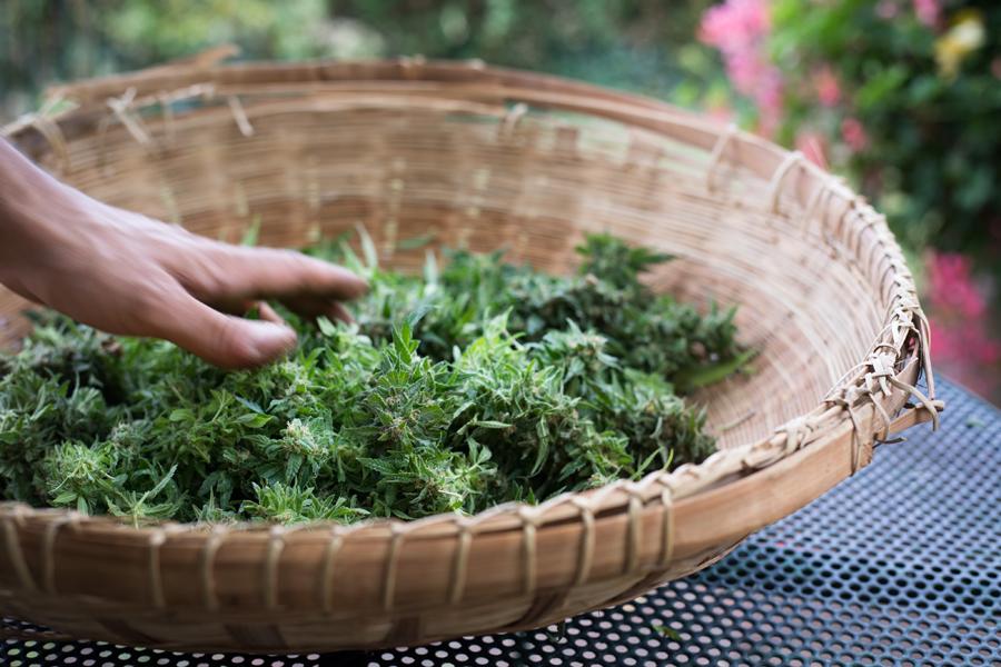 erba del chianti