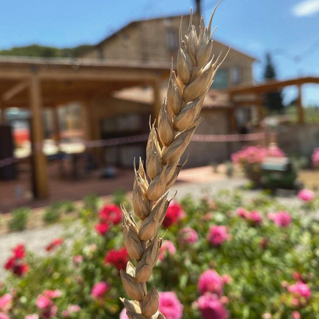 Spiga di grano Borgo Petriolo